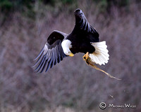 Bald Eagles-2
