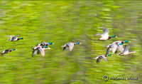 Mallards in flight-composite