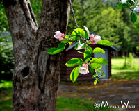 _MJW2053-Apple blossom time, Bella Coola Valley