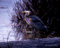 Heron- Great Blue-2 (213-20-95).jpg