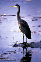 Heron- Great Blue- 1.jpg