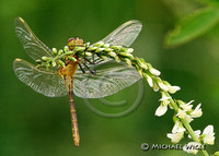 Dragonfly- Teneral on sweet clover.jpg