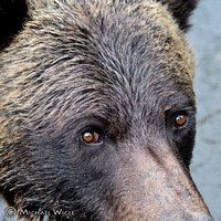 _MW15386-Grizzly Eyes