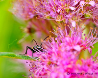 _MWB0343-Beetle on Hardhack blooms.jpg