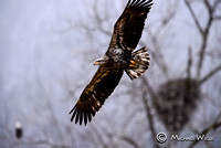 _DSC0654-Young Eagle