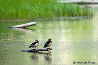 DSC_2501-Wood Ducks-1