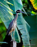 Heron, Y-C Night- mature (Y5-6-01).jpg