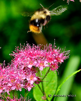 _MWB0482-Honeybee lift-off