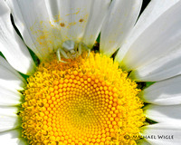 _MWB0264-CrabSpider on Daisy.jpg