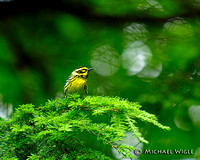 _MWB5803-Townsends Warbler