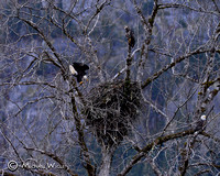 _DSC0576-Eagles & Nest