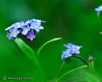 _MJW4084-Forget-Me-Nots