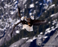 Bald Eagles-4