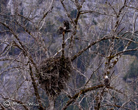 _DSC0552-Eagles & Nest